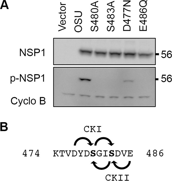Effect of priming loop mutations on NSP1 phosphorylation. (A) Lysates prepared from HEK293T cells expressing WT OSU NSP1 and forms of the protein with the indicated mutations were analyzed by immunoblot assay using p-IκB antibody to recognize p-NSP1, OSU NSP1 antibody, and PCNA antibody. (B) Predicted phosphorylation patterns of the OSU NSP1 ILD by CKI and CKII, using D477 and E486 as priming residues, respectively.