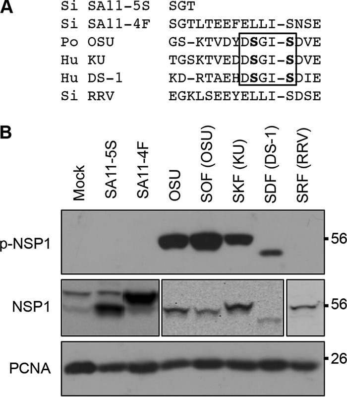 Phosphorylation of NSP1 in rotavirus-infected cells. (A) Alignment of C-terminal sequences of NSP1 proteins, with the ILD boxed. (B) HT29 cells were infected with SA11-4F, SA11-5S, or OSU virus strains or monoreassortant SA11-L2 virus strains expressing OSU (SOF), KU (SKF), DS-1 (SDF), or RRV (SRF) NSP1. SA11-5S expresses a mutant form of NSP1 that lacks the 13 terminal residues of wild type SA11-4F NSP1. Lysates prepared from the infected cells at 15 h p.i. were analyzed by immunoblot assay using p-IκB antibody to detect p-NSP1 and PCNA antibody. To detect total NSP1, lysates from mock-, SA11-4F-, and SA11-5S-infected cells were probed with antibody against SA11-5S NSP1, lysates from OSU-, SOF-, SKF-, and SDF-infected cells were probed with antibody against OSU NSP1, and the lysate from RRV-infected cells was probed with antibody against RRV NSP1 ( 4 ).