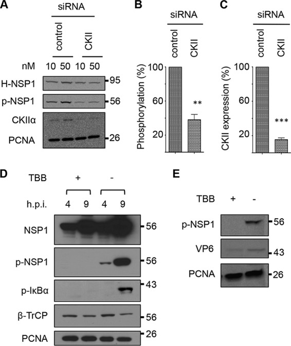 Effect of CKII inhibition on NSP1 phosphorylation. (A) HEK293T cells were cotransfected with a vector expressing HALO-tagged NSP1 (H-NSP1) and a 10 or 50 μM siRNA pool targeting the CKII RNA or representing a scrambled siRNA control pool. At 48 h p.t., cells were collected and protein samples were analyzed by immunoblot assay with antibodies specific for the HALO tag, p-NSP1, CKIIα, and PCNA. Band intensities from two independent experiments using 50 mM concentration of siRNA pools were determined with an Azure digital imager. (B) Levels of OSU NSP1 phosphorylation were calculated by dividing p-NSP1 intensity values by those for H-NSP1 and normalizing the results to 100% for the control siRNA sample. (C) CKII levels were calculated by dividing CKII intensity values by those for PCNA and normalizing the results to 100% for the control siRNA sample. (D) HT29 cells were infected with OSU at an MOI of 5 and treated with TBB or DMSO at 2 h p.i. At 4 and 9 h p.i., cells were collected and lysed, and proteins in the samples were resolved by electrophoresis and examined by immunoblot assay with antibodies recognizing OSU NSP1, p-NSP1, p-IκB, β-TrCP, or PCNA. (E) PK15 cells were infected with OSU at an MOI of 5 and mock treated or treated with TBB. Cells were harvest at 9 h p.i., and proteins in the samples were examined by immunoblot assay with antibodies to p-NSP1, rotavirus VP6, and PCNA.