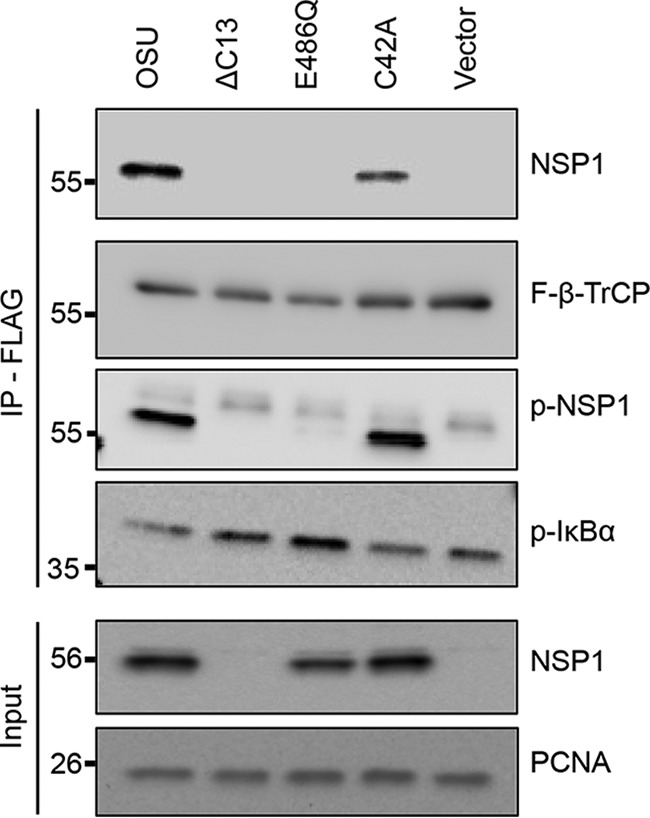 Effect of NSP1 phosphorylation on interactions with β-TrCP. HEK293T cells were transfected with vectors expressing FLAG–β-TrCP and WT or mutant OSU NSP1. Lysates prepared from the cells at 24 h p.t. were incubated with anti-FLAG resin to immunoprecipitate complexes containing FLAG–β-TrCP. Input fractions and eluted proteins were analyzed by immunoblot assay with antibodies specific for NSP1, FLAG, p-NSP1, p-IκB, and PCNA. The OSU NSP1 antibody was generated using a peptide representing the C terminus of the OSU NSP1 proteins ( 4 ). As a result, the OSU NSP1 antibody was not able to recognize the product of the OSU ΔC13 expression vector ( 5 ).