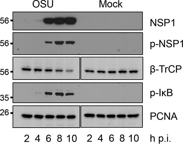 Accumulation of p-NSP1, β-TrCP, and p-IκB during viral infection. HT29 cells were mock infected or infected with OSU rotavirus (MOI of 5) and harvested from 2 to 10 h p.i. Cellular lysates were resolved by gel electrophoresis and transferred onto nitrocellulose membranes. Blots were probed with antibodies specific for NSP1, p-NSP1, β-TrCP, p-IκB, and PCNA.