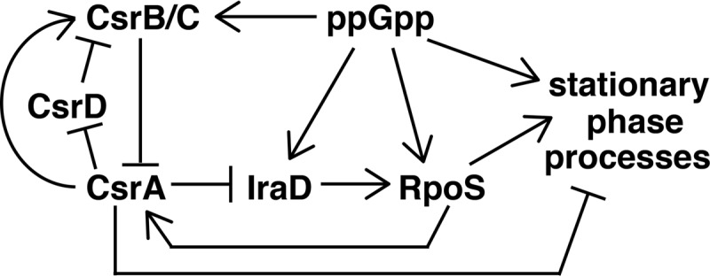 Regulatory circuitry of the Csr, stringent response, and general stress response systems. ppGpp activates transcription of csrB , csrC , iraD , and rpoS . <t>CsrA</t> represses IraD synthesis via coupling with ORF27. IraD stabilizes RpoS by inhibiting RssB-mediated degradation of RpoS. RpoS activates transcription of genes involved in stationary-phase processes. RpoS activates transcription of csrA , while CsrA represses stationary-phase processes. CsrB/C sRNAs bind to and sequester CsrA from its mRNA targets, while CsrA indirectly activates csrB / C expression. CsrD targets CsrB/C for degradation by <t>RNase</t> E, and CsrA indirectly represses csrD expression. See text for additional details.