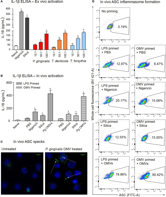 Porphyromonas gingivalis outer membrane vesicles (OMVs) prime and activate inflammasome formation in vivo . (A) Intraperitoneal cells from naive mice (unprimed and unactivated) were cultured overnight and stimulated ex vivo with nigericin, silica, P. gingivalis, Treponema denticola , or Tannerella forsythia OMVs, IL-1β secretion was determined by ELISA. (B) For in vivo inflammasome activation C57BL/6 J mice received intraperitoneal injections of phosphate-buffered saline (PBS, naïve), Escherichia coli lipopolysaccharide, or P. gingivalis OMVs 72 h prior to harvest to recruit immune cells to the peritoneal cavity. A second intraperitoneal injection of PBS, silica, nigericin, or P. gingivalis OMVs was administered 15 min prior to killing to active inflammasomes in peritoneal macrophages, IL-1β secretion was determined by ELISA. Data are represented as mean ± SEM of three replicates. *represents a significant ( p