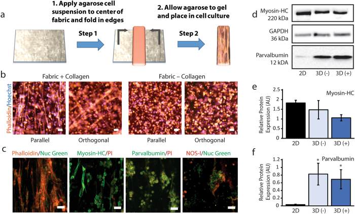 Incorporation of collagen networks in 3D hydrogel scaffolds supports cell alignment and differentiation. ( a ) Dry fabrics can be readily incorporated into commonly-used non-cell-adherent hydrogels such as agarose. ( b ) Low magnification epifluorescence images of actin-phalloidin and Hoechst nuclear staining demonstrate that collagen-doped fabrics promote large-scale alignment of agarose-encapsulated C2C12 cells. Cell alignment and growth is not observed for control fabrics that do not contain collagen. Arrows indicate direction of fabric alignment. ( c ) High-resolution confocal maximum intensity projections show details of aligned fascicle-like structures. Positioning of cell nuclei and interconnected cytoskeleton structures are indicative of myotube formation. Myotubes and fascicle-like structures are not observed for cells cultured with control fabrics. C2C12 cells growing along collagen networks within the hydrogels display immunofluorescence for skeletal muscle cell differentiation markers including myosin heavy chain, <t>parvalbumin</t> and NOS-I. All scale bars, 50 µm. ( d ) Representative Western blots for myosin heavy chain, parvalbumin and GAPDH for cells grown in 2D on tissue culture plastic, within agarose containing 3D control fabrics (3D (−)) and within agarose containing 3D collagen fabrics (3D (+)). Images are cropped from the original full blots with adjustment of brightness and contrast to ensure that faint bands are visible. Unprocessed Western blot images are available in Supplementary Figure 7 . Levels of myosin heavy chain ( e ) and parvalbumin ( f ) relative to GAPDH (AU; Arbitrary Units) were compared across culture conditions. Significant differences of p