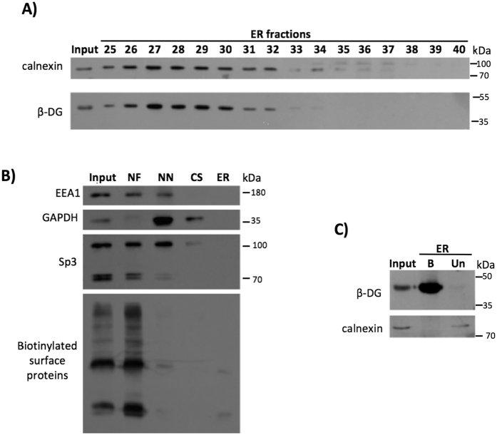 Retrograde trafficking of β-DG from the PM to the ER. ( A ) ER was purified using density gradient techniques (OptiPrep) and then ER fractions were immunoblotted for the ER marker calnexin or β-DG on the same membrane. ( B ) Verification of the purity of ER fractions: Aliquots from each step of the ER purification were analyzed by Western blotting using primary antibodies against EEA1 (early endosomal marker), GAPDH (cytosolic marker) and Sp3 (nuclear marker). As a PM marker, ER was isolated from biotinylated cells at 4 °C, the lysates were pulldown using streptavidin-agarose beads and then blotted with HRP-streptavidin. NF: Nuclear fraction; NN: Non-nuclear fraction; CS: Cytosolic fraction; ER: Endoplasmic reticulum fraction. ( C ) Cells were subjected to cell surface biotinylation and subsequently to ER purification using the OptiPrep gradient. The ER fractions were combined and biotinylated proteins were precipitated using streptavidin-agarose beads and then analyzed by SDS-PAGE/Western blotting with antibodies against β-DG and calnexin.