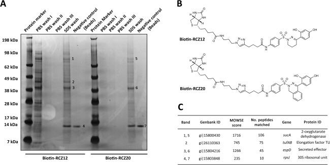 Biotin‐Streptavidin affinity pulldown assay of RCZ12/20 with whole cell lysate of EHEC. A. Coomassie stained SDS‐PAGE gel of biotin‐RCZ12/20 bound proteins. Each wash and elution stage is indicated above each well. The negative control for nonspecific binding corresponds to the assay performed using Streptavidin beads alone. The experiment was performed in triplicate. B. The chemical structure of the biotin labeled RCZ12 and RCZ20 compounds used in the pull‐down assays. C. Table of results highlighting the targets of RCZ12/20 as identified by tandem mass spectrometry. The band number, genBank/protein ID, MOWSE score and gene name are indicated.