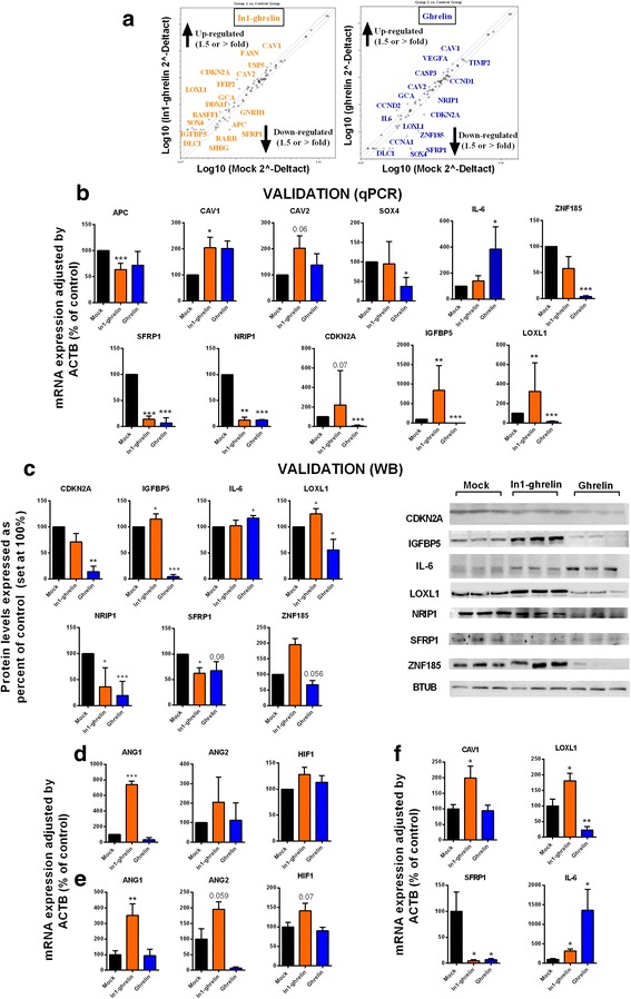 Gene expression effects of ghrelin and In1-ghrelin overexpression in PC-3 and derived xenografted tumors. a . Results from the RT2 Prostate-Cancer PCR Array which evaluates the expression of 84 genes involved in prostate cancer development and progression performed in ghrelin and In1-ghrelin-stably transfected PC-3-cells compared with control-mock PC-3-cells. The graphs indicate those genes which expression change ≥ 1.5-fold; b . Validation by qPCR of genes dysregulated in the RT2 Prostate-Cancer PCR Array using different cell preparations ( n ≥ 3) and new sets of primers; c . Validation by Western blot of the changes observed in the previous analysis; d . Expression of angiogenic factors in In1-ghrelin-stably transfected PC-3-cells and native ghrelin-stably transfected PC-3 cells compared with control-mock PC-3-cells.; e . Expression of angiogenic factors in xenografted tumors of stably transfected-PC-3 cells. f . CAV1, LOXL1, SFRP1 and IL-6 mRNA expression levels in mock, ghrelin and In1-ghrelin transfected PC-3-derived xenografted tumors. Results were normalized with ACTB. All preparations were repeated at least three times ( n ≥ 3). (* p