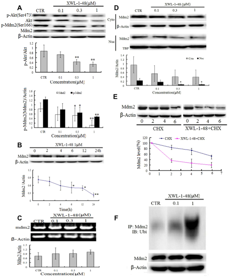 Effect of XWL-1-48 on PI3K/Akt/Mdm2 pathway. ( A ) HepG2 cells were treated by XWL-1-48 (0.1, 0.3, 1 μM) for 24 h, protein expression of p-Akt, Akt, p-Mdm2 and Mdm2 were determined by Western bolt analysis. The changes of p-Akt/Akt and p-ATM/ATM were quantified using Image J software. A representative result is shown from at least three independent experiments. ( B ) HepG2 cells were exposure to 1 μM of XWL-1-48 for 0, 2, 4, 6 12 and 24 h, protein expression level of Mdm2 was determined using immunoblot, and further quantified by image J software. ( C ) After treated with XWL-1-48 (0.1, 0.3, 1 μM) for 24 h, Cells were harvested. The mRNA level of Mdm2 was analyzed by RT-PCR. ( D ) After incubated with XWL-1-48 for 24 h, the expression of Mdm2 in cytoplasm and nuclear were detected. ( E ) HepG2 cells were exposed to 100 μg/ml cycloheximide (CHX, known as protein synthesis inhibitor) with or without XWL-1-48 (1 μM) for 2, 4, 6 h to block protein synthesis. The cells were collected for Western blot analysis. ( F ) Cells were treated for 48 h with or without XWL-1-48 (1 μM). Cell lysates were immunoprecipitated with 1 μg of anti-Mdm2 polyclonal antibody, followed by Western blotting with a monoclonal anti-ubiquitin antibody. A representative result is shown from at least three independent experiments. * p