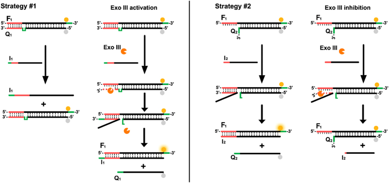 General scheme of the Exo III-controlled, toehold-based DNA strand displacement strategies.
