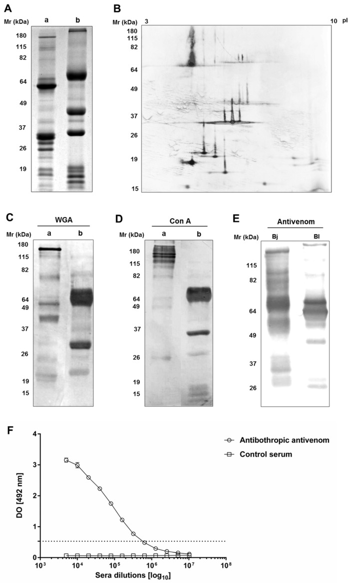Uni- and bi-dimensional electrophoretic analysis of B. lanceolatus venom, its cross-reaction with bothropic antivenom, and the presence of glycosylated proteins in the venom. ( A , C , D ) Samples of B. lanceolatus venom were submitted to electrophoretic SDS-PAGE separation (12% of acrylamide) in non-reducing ( a ) and reducing ( b ) conditions. ( A ) The gel on which 30 µg of venom was separated was stained with Coomassie Blue R-250. ( B ) Strips with pH gradient (3 to 10) were rehydrated with buffer containing B. lanceolatus venom (100 µg) before isofocalization. After washing with reducing and chelating buffers, the focalized strips were submitted to SDS-PAGE electrophoresis (12% of acrylamide). The resulting gels were silver stained. ( C , D ) Venom samples (15 µg) were separated by electrophoresis and electrotransferred to nitrocellulose membranes. The membranes were incubated with the peroxidase-conjugated lectins, WGA and Con A. Recognized bands were visualized with DAB. ( E ) After electrophoresis in non-reducing conditions, samples (5 µg) of B. jararaca (Bj) and B. lanceolatus (Bl) venoms were electrotransferred to nitrocellulose membranes and incubated with bothropic antivenom diluted <t>1:10,000</t> followed by GAH/IgG-AP (1:7500). Cross-reacting bands were visualized with NBT-BCIP. ( F ) ELISA plates were coated with B. lanceolatus venom (1 µg/well). They were incubated with serial dilutions of bothropic antivenom or botulinum toxin antiserum, as negative control, followed by GAH/IgG-AP (1:3000). The results showed are representative of two experiments, realized in duplicates. The titer was determined as the highest antivenom dilution, which produced an absorbance eight times greater than the absorbance determined for the control serum. This absorbance value is represented by a dotted line.