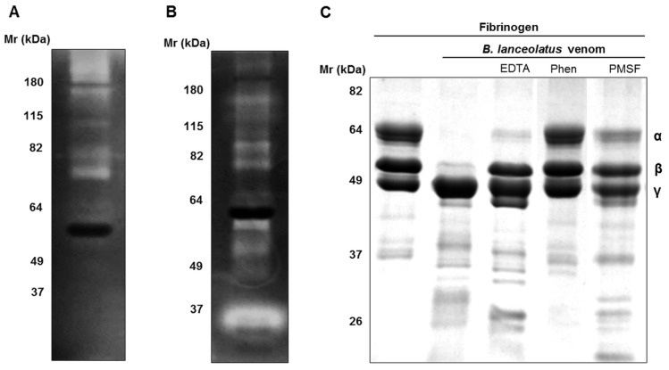 Gelatinolytic and fibrinogenolytic activities of B. lanceolatus venom. ( A , B ) Samples of B. lanceolatus venom (25 µg) were separated by SDS-PAGE in 12% acrylamide gels containing ( A ) 10% gelatin or ( B ) 10% fibrinogen under non-reducing conditions at 4 °C. The gels were then incubated overnight at 37 °C in substrate buffer (pH 8.3) and stained with Coomassie Blue R250. ( C ) Samples of fibrinogen (30 µg) were incubated with B. lanceolatus venom (0.5 µg) for 1 h at 37 °C in the absence or presence of proteases inhibitors (20 mM), EDTA, 1,10-phenanthroline (Phen), or PMSF. Samples were then separated by SDS-PAGE electrophoresis in reducing conditions before Coomassie Blue R250 staining.