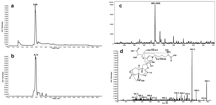 ( a ) Mass spectrometric profiles obtained from MRM scanning (ion transition m/z 592→503) analysis of mouse liver microsomal incubations containing DIOB, NADPH, Lys, and Cys; ( b ) Mass spectrometric profiles obtained from MRM scanning (ion transition m/z 592→503) analysis of mouse liver microsomal incubations containing DIOB and NADPH, followed by exhaustive proteolytic digestion; ( c ) High resolution mass spectrum; ( d ) MS/MS spectrum of pyrrole 12 .