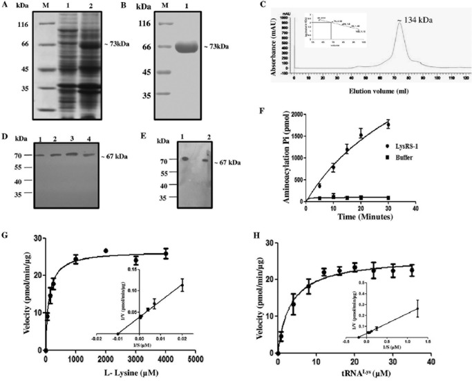 Protein induction, purification, and enzymatic characterization of recombinant Ld LysRS-1. (A) SDS-PAGE analysis of whole-cell lysate of uninduced and induced E. coli BL21(DE3) cells transformed with <t>pET-30a–</t> Ld LysRS-1. M, molecular mass marker; lane 1, uninduced bacterial cell lysate; lane 2, induced bacterial cell lysate. (B) Purification of r Ld LysRS-1 protein on Ni 2+ -NTA affinity resin. M, molecular mass marker; lane 1, eluted fraction with 100 mM imidazole showing purified r Ld LysRS-1. (C) GPC elution profile of purified Ld LysRS-1. Comparison with standard markers indicates that Ld LysRS-1 elutes at a size corresponding to the dimeric state. mAU, milli-absorbance unit. (D) Western blot analysis of the r Ld LysRS-1 protein and promastigote cell lysates of wild-type (WT) parasites using anti- Ld LysRS-1 antibody. Lane 1, 0.5 μg r Ld LysRS-1 protein; lane 2, 1 μg r Ld LysRS-1 protein; lane 3, 2 μg r Ld LysRS-1 protein; lane 4, Leishmania promastigote cell lysate (~40 μg). (E) Western blot analysis of the r Ld LysRS-1 protein and amastigote cell lysates of WT parasites. Lane 1, 2 μg recombinant Ld LysRS-1 protein; lane 2, Leishmania amastigote cell lysate (~40 μg). (F) Time course of tRNA Lys aminoacylation by recombinant Ld LysRS-1. Reactions were performed with l -lysine and tRNA Lys as the substrates. The data show an average from three experiments performed in duplicate ± SD. (G and H) Aminoacylation kinetics of Ld LysRS-1 as a function of l -lysine concentration (G) and tRNA Lys concentration (H). The results represent means ± SD ( n = 3).