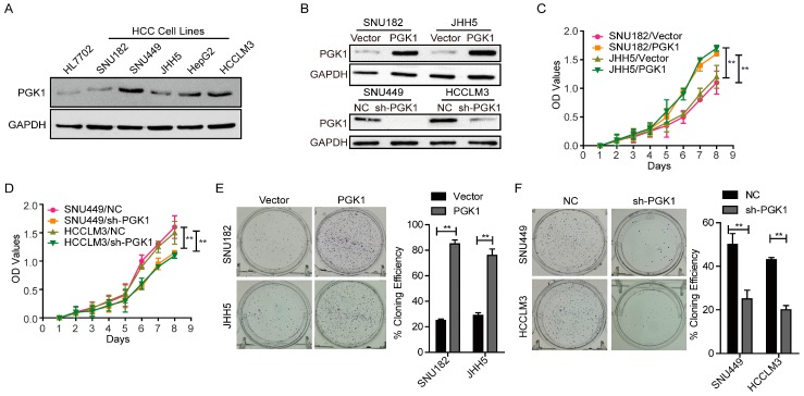 Effect of Phosphoglycerate Kinase 1 (PGK1) on the proliferation of Hepatocellular Carcinoma (HCC) cells. ( A ) Endogenous expression of PGK1 in nomal and five HCC cell lines by Western blotting. Glyceraldehyde 3-phosphate dehydrogenase <t>(GAPDH)</t> was used as internal control. ( B ) Transfection efficiency of PGK1 overexpress and knockdown in HCC. GAPDH was used as internal control. ( C ) Effect of PGK1 on proliferation of SNU182 and JHH5 cells by cell counting kit-8 (CCK8) assay. ( D ) Effect of PGK1 knockdown on proliferation of SNU449 and HCCLM3 cells by CCK8 assay. ( E ) Effect of PGK1 on proliferation of SNU182 and JHH5 cells by plate colony formation assay. ( F ) Effect of PGK1 knockdown on proliferation of SNU449 and HCCLM3 cells by plate colony formation assay. ** p