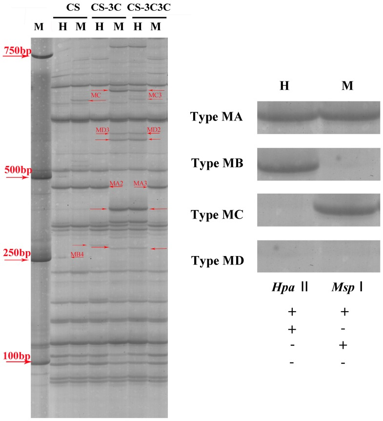 """Representative variation of DNA methylation pattern. H ( Eco R I + Hpa II digest) and M ( Eco R I + Msp I digest) refer to digestion with Eco R I + Hpa II and Eco R I + Msp I, respectively. """"→"""" red arrows represent parts of differential methylated bands between common wheat and wheat carrying Gc chromosome(s). M stands for Marker DL2000. MA (1, 1), presence in both H ( Eco R I + Hpa II digest) and M ( Eco R I + Msp I digest) lanes; MB (1, 0), presence in H and absence in M lane; MC (0, 1), absence in H but presence in M lane; MD (0, 0) absence in both H and M lanes. CS: T. aestivum cv. Chinese Spring. CS–3C: monosomic addition line of Chinese Spring (CS) that carries a gametocidal chromosome 3C originated from Aegilops triuncialis . CS–3C3C: disomic addition line of Chinese Spring (CS) that carries two gametocidal chromosome 3C originated from Aegilops triuncialis ."""