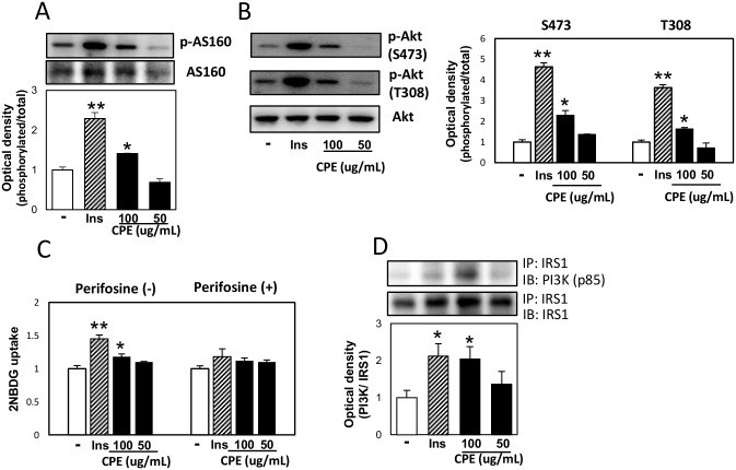 CPE activated PI3K-Akt-AS160 signaling in C2C12 cells. C2C12 cells were exposed to CPE (50 or 100 μg/mL) or insulin (100 nM) for 30 min. The phosphorylation level of AS160 at Thr642 (A), Akt at Ser473 and Thr308 (B), and effects of CPE on the 2NBDG uptake in C2C12 cells treated with 50 μM Perifosine, Akt inhibitor (C). IRS1 and p85 subunit of PI3K complex (D) was determined by immunoprecipitation. Data are expressed as the mean ± SEM of three independent experiments. ** p