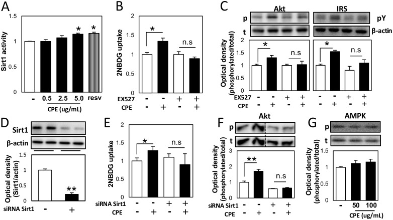 CPE affected insulin signaling via Sirt1 in C2C12 cells. Human recombinant Sirt1 were incubated with CPE (0.5, 2.5, and 5 μg/mL) or resveratrol (5 μM), a Sirt1 activator, as well as substrate peptide, NAD, and developer, and Sirt1 activity was measured (A). C2C12 cells were incubated with CPE (100 μg/mL) with or without treatment with EX527 (40 μM), and 2NBDG uptake (B), Akt phosphorylation at Ser473, and tyrosine phosphorylation of IRS (C) were measured. Sirt1 expression was determined after treatment with Sirt1 siRNA (D). Cells were incubated with CPE (100 μg/mL) with or without Sirt1 knockdown, and 2NBDG uptake (E) and Akt phosphorylation level at Ser473 (F) were determined. The effects of CPE on the phosphorylation level of AMPK (G). Values are expressed as the mean ± SEM ( n = 3–4). * p