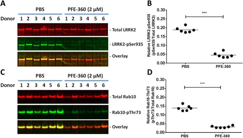 Acute LRRK2 inhibition with PFE-360 reduces LRRK2-pSer935 and Rab10-Thr73 phosphorylation in non-stimulated PBMCs from human healthy subjects. Odyssey CLx scan Western Blot images showing ( A ) LRRK2 and ( C ) Rab10 immunoreactivity (red panels), LRRK2-pSer935 and Rab10-pThr73 immunoreactivity (green panels) as well as overlay in non-stimulated human PBMCs treated with 2 µM PFE-360. Full-length blots are presented in Supplementary Figure 4 . Quantification of ( B ) relative LRRK2-pSer935/total LRRK2 ratio and ( D ) relative Rab10-pThr73/total Rab10 ratio (n = 6 donors; 2 conditions). Data was analyzed by paired t-test. Data is presented as means ± SEM; ****p