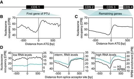 Nucleosome depletion correlates with the level of gene expression Schematic display of a PTU. Nucleosome occupancy is plotted relative to the start codon (ATG) of the first gene of a PTU and averaged across all PTUs ( n = 184). The definition of the first gene of a PTU is based on a previous study (Kolev et al , 2010 ) and genome version Tb927v24. Total nucleosome occupancy is plotted relative to the ATG and averaged across all genes except the first gene of a PTU ( n = 12,220). Nucleosome occupancy is plotted relative to the splice acceptor sites and averaged across the 25% of genes containing the highest RNA levels (left panel, n = 690), the 25% of genes containing intermediate RNA levels (middle panel, n = 690), and the 25% of genes containing the lowest RNA levels (lower panel, n = 690). RNA levels were determined previously (Fadda et al , 2014 ).