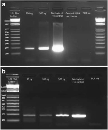 MLH1 PCR to test efficiency of bisulfite conversion on FFPE derived DNA. a ) MLH1 PCR of FFPE-derived bisulfite-treated DNA. Lane 1: 1Kb + ladder, Lane 2: 200 ng input DNA, Lane 3: 500 ng input DNA, Lane 4: Zymo methylated control DNA, Lane 5: unconverted genomic DNA, Lane 6: PCR negative (water). 2% agarose, run for 25 mins at 100 V. b ) MLH1 PCR of RRBS libraries prepared from different amounts of FFPE-derived DNA. FFPE DNA was digested with MspI enzyme, A-tailed, end repaired and ligated to Illumina adaptors, and bisulfite converted. Then PCR was performed with MLH1 primers. Lane 1: 1Kb + ladder, Lane 2: 50 ng input DNA, Lane 3: 100 ng input DNA, Lane 4: 500 ng input DNA, Lane 5: Zymo methylated control DNA, Lane 6: PCR negative (water). 2% agarose, run for 25 mins at 100 V