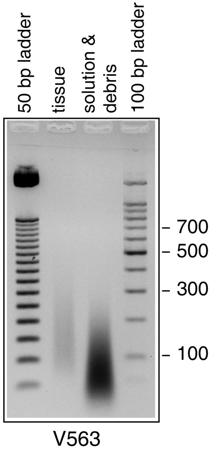 Agarose gel electrophoresis of ethidium bromide-stained DNA extracted from specimen V563.