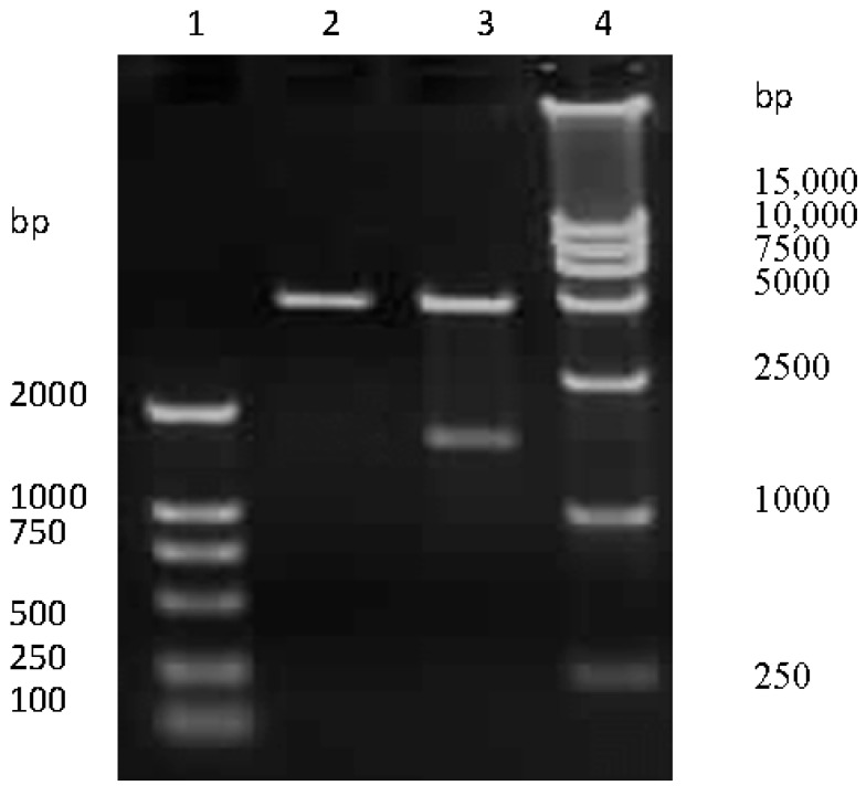 The recombinant pCI-neo-HA identification by Nhe I/Xho I digestion. Lane 1 and 4: DNA molecular weight marker; lane 2: empty pCI-neo plasmid; lane 3: pCI-neo-HA plasmid digested with Nhe I and Xho I.