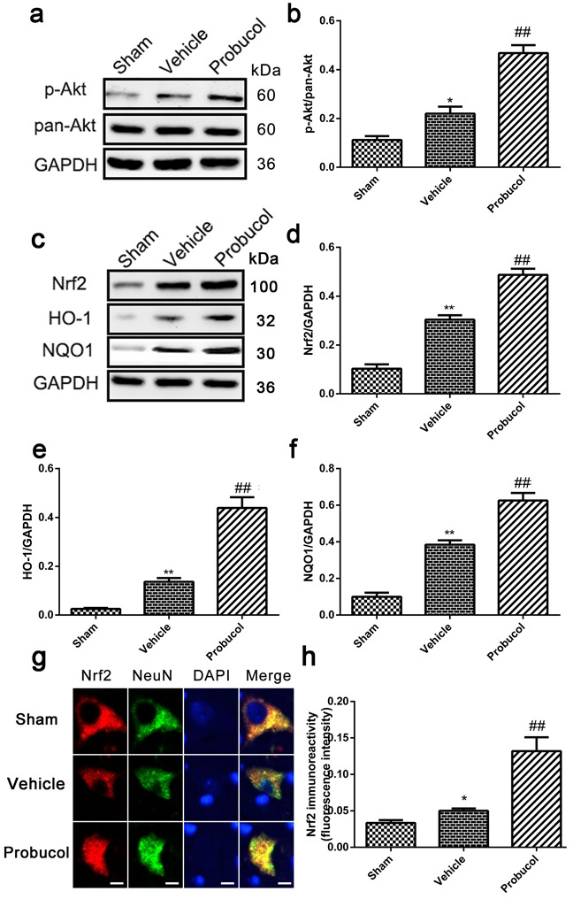 Probucol activated the Akt/Nrf2/ARE signaling pathways after SCI in rat a . b . Representative western blots and quantification data of p-Akt, pan-Akt and GAPDH in each group rats on the seventh postoperative day; columns represent mean ± SD, * P