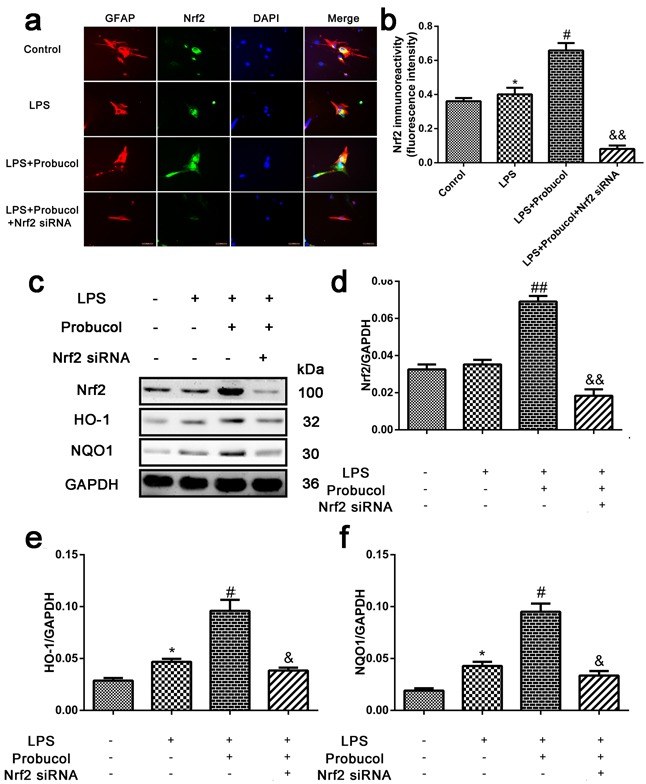 Probucol activated the <t>Nrf2/ARE</t> signaling pathways in astrocytes a . b . Immunofluorescence analysis was used to detect the staining intensity of GFAP and Nrf2. Scale bars are 50 μm. * P