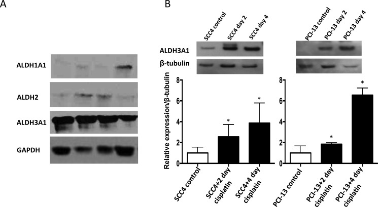 Cisplatin increases ALDH3A1 expression in HNSCC ( A ) Western blot analyses of human primary tumor homogenates from HNSCC patients using GAPDH as a loading control. ( B ) SCC4 and PCI-13 cells were treated with cisplatin (15 μM) for 2 and 4 days and total cell lysates were analyzed by Western blot for ALDH3A1 protein. Densitometric analysis of ALDH bands obtained by Western blot using Image J software shows relative levels after normalization for equal protein loading using β-tubulin as a loading control. Results are expressed as mean±SEM. (* p