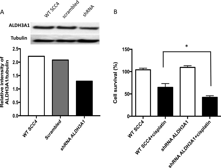 Knockdown of ALDH3A1 expression in HNSCC cells increases sensitivity to cisplatin ( A ) Knockdown of ALDH3A1 by lentiviral transduction of shRNA in SCC4 cells was confirmed by Western blot assay. ( B ) Wild type (WT) and ALDH3A1 knockdown cells were treated with cisplatin on days 1 and 2, and cell viability was quantified by MTT on the fourth day. Results were expressed as percent of control (* p