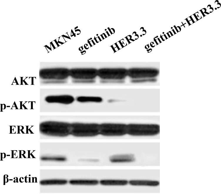 Combination of gefitinib and HER3 siRNA inhibits the PI3K/AKT and ERK signalling pathways MKN45 and MKN45-HER3.3 cells were treated with 20 μM gefitinib. After 48 h of treatment, AKT and ERK activation is simultaneously ablated by the combination compared with the single treatments and the control. HER3.3 yields a greater inhibition of p-AKT than gefitinib.