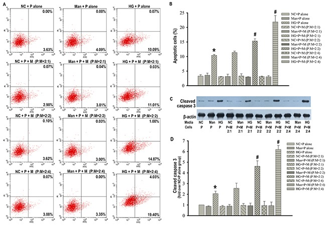 Macrophages promoted podocytes apoptosis in the condition of high glucose Flow cytometry analysis of podocytes apoptosis with Annexin V-FITC/PI staining  (A) . Percentage of apoptotic podocytes  (B) . Representative western blotting analysis of cleaved caspase 3 in podocytes  (C) . β-actin was used as an internal control. Quantification of cleaved caspase 3 protein expression  (D) . NC+P alone: podocytes treated with normal PRMI 1640 media. Man+P alone: Podocytes treated with 25 mM mannitol. HG+P alone: Podocytes treated with 25 mM high glucose. NC+P+M : Transwell co-culture of podocytes (P) and RAW 264.7 cells (M) in the absence of 25 mM high glucose at indicated ratios of P to M. Man+P+M: Transwell co-culture of P and M in 25 mM mannitol at indicated ratios of P to M. HG+P+M: Transwell co-culture of P and M in the presence of 25 mM high glucose at indicated ratios of P to M. Data were presented as mean ± SD from three independent experiments. *P