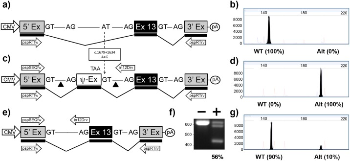 """Mini-gene analysis of c.1679+1634A > G mutation. a) Schematic of pMG-in12-WT plasmid comprising a contiguous ~1.5kb region of CFTR containing part of intron 12, exon 13 and part of intron 13 cloned between the 5' and 3' exons of the pSPL3 vector. Exons are shown as boxes, introns as lines, and predicted transcript as thicker line shown underneath. Arrows below transcript represent pspRTfw and pspRTrv primers for RT-PCR. b) Electropherogram analysis of RT-PCR products (filled peaks) generated from HEK293T cells transfected with pMG-in12-WT and size markers (unfilled peaks). c) Schematic of pMG-in12-A > G mutation which differs from pMG-in12-WT by the A > G change shown with dotted arrow. The A > G change creates a pseudo exon (Ψ-EX) which contains an in-frame stop codon (TAA). The triangles flanking the Ψ-EX indicate target sites of Cas9/gRNAs encoded by pTandem-in12 vector. Arrows above DNA represent pspSEQfw and in12Drv primers for PCR. d) Electropherogram analysis of RT-PCR products generated from HEK293T cells transfected with pMG-in12-A > G. e) Schematic of pMG-in12-A > G mutation following targeted excision and repair. f) Agarose gel electrophoresis analysis of targeted deletions in pMG-in12-A > G measured by PCR. """"-"""" lane is PCR products generated from HEK293T cells transfected with pMG-in12-A > G only, """"+"""" lane is PCR products generated from HEK293T cells transfected with pMG-in12-A > G and pTandem-in12. The top band is generated from untargeted DNA, the bottom band is generated from DNA containing the targeted deletion, and the middle band is most likely heteroduplexes formed during the late stages of PCR; similar bands have been reported during PCR analysis of the CF-causing c.1521_1523delCTT deletion and verified as heteroduplexes [ 32 ]. g) Electropherogram analysis of RT-PCR products generated from HEK293T cells co-transfected with pMG-in12-A > G and pTandem-in12 vector."""