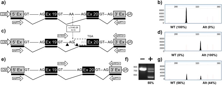 """Mini-gene analysis of c.3140-26A > G mutation. a) Schematic of pMG-in19-WT plasmid comprising a contiguous ~2.0 kb region of CFTR containing part of intron 18, exon 19, all of intron 19, exon 20 and part of intron 20 cloned between the 5' and 3' exons of the pSPL3 vector. b) Electropherogram analysis of RT-PCR products generated from HEK293T cells transfected with pMG-in19-WT. c) Schematic of pMG-in19-A > G mutation which differs from pMG-in19-WT by the A > G change shown with dotted arrow. The A > G change extends exon 20 by 25 bp which shifts the reading frame and eventually results in-frame stop codon (TGA). The triangles indicate target sites of Cas9/gRNAs encoded by pTandem-in19 vector. Arrows above DNA represent in19Ufw and pspSEQrv primers for PCR. d) Electropherogram analysis of RT-PCR products generated from HEK293T cells transfected with pMG-in19-A > G. e) Schematic of pMG-in19-A > G mutation following targeted excision and repair. f) Agarose gel electrophoresis analysis of targeted deletions in pMG-in19-A > G measured by PCR. """"-"""" lane is PCR products generated from HEK293T cells transfected with pMG-in19-A > G only, """"+"""" lane is PCR products generated from HEK293T cells transfected with pMG-in19-A > G and pTandem-in12. g) Electropherogram analysis of RT-PCR products generated from HEK293T cells co-transfected with pMG-in19-A > G and pTandem-in19 vector."""