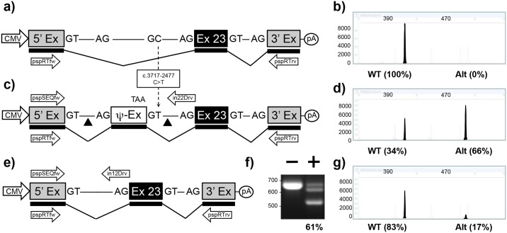 """Mini-gene analysis of c.3718-2477C > T mutation. a) Schematic of pMG-in22-WT plasmid comprising a contiguous ~3.2 kb region of CFTR containing part of intron 22, exon 23, and part of intron 23 cloned between the 5' and 3' exons of the pSPL3 vector. b) Electropherogram analysis of RT-PCR products (filled peaks) generated from HEK293T cells transfected with pMG-in22-WT. c) Schematic of pMG-in22-C > T mutation which differs from pMG-in22-WT by the C > T change shown with dotted arrow. The C > T change creates a pseudo exon (Ψ-EX) which contains an in-frame stop codon (TAA). The triangles flanking the Ψ-EX indicate target sites of Cas9/gRNAs encoded by pTandem-in22 vector. Arrows above DNA represent pspSEQfw and in22Drv primers for PCR. d) Electropherogram analysis of RT-PCR products generated from HEK293T cells transfected with pMG-in22-C > T. e) Schematic of pMG-in22-C > T mutation following targeted excision and repair. f) Agarose gel electrophoresis analysis of targeted deletions in pMG-in22-C > T measured by PCR. """"-"""" lane is PCR products generated from HEK293T cells transfected with pMG-in22-C > T only, """"+"""" lane is PCR products generated from HEK293T cells transfected with pMG-in22-C > T and pTandem-in22. g) Electropherogram analysis of RT-PCR products generated from HEK293T cells co-transfected with pMG-in22-C > T and pTandem-in22 vector."""