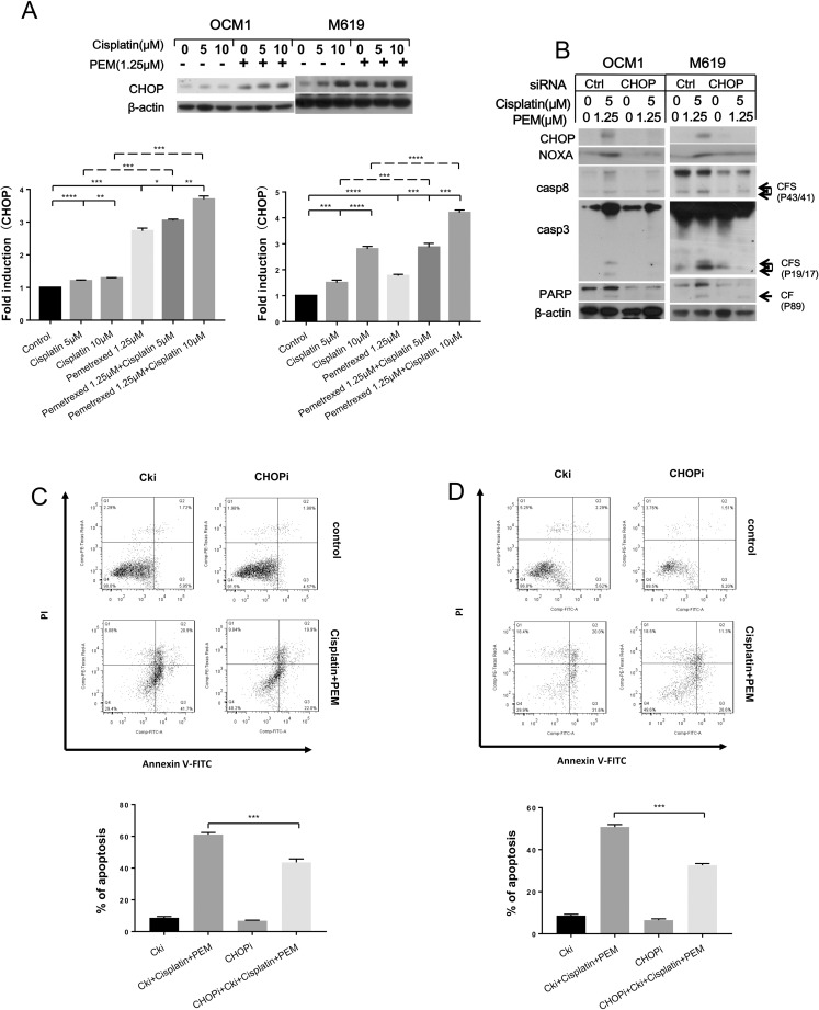 Pemetrexed plus cisplatin synergistically induces CHOP expression. (A) To analyze the synergistic effects of the co-treatment, the indicated cells were treated with the indicated concentrations of chemotherapeutic drugs for 24 hours and then harvested for western blotting analysis. CHOP expression was quantified using Image J software and analyzed with GraphPad Prism 5.0 software. OCM1 and M619 cells were seeded in 6-well plates and transfected with control or CHOP siRNA on the second day. (B, C) At 48 hours after transfection, the cells were treated with 1.25 μmol/L pemetrexed combined with 5 μmol/L cisplatin for another 24 hours and then harvested for western blotting and apoptosis analysis. CF: cleaved form. All data are presented as the mean ± S.D.