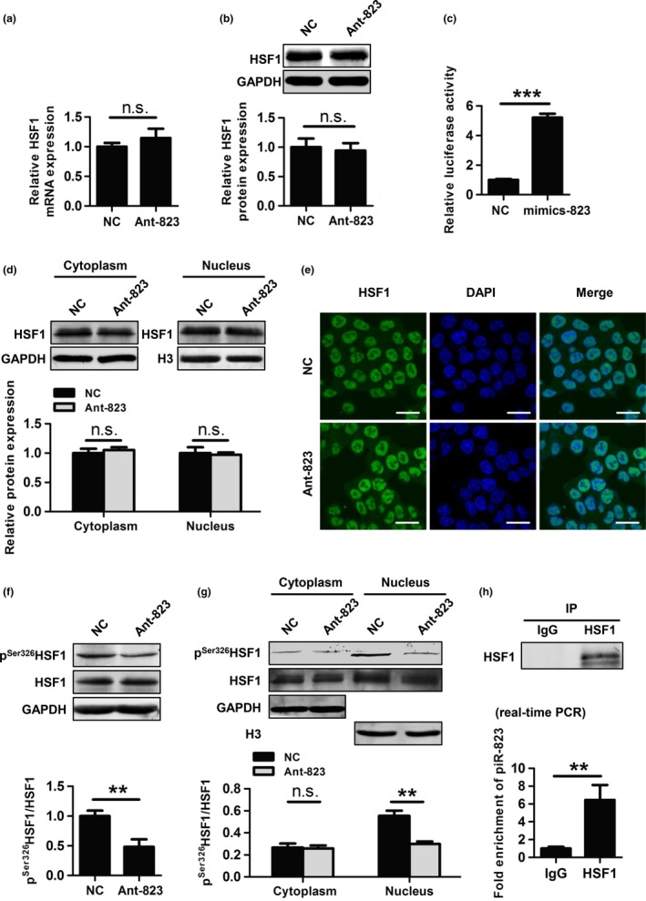 piR‐823 regulates HSF 1 activity by binding to HSF 1 and modulating its phosphorylation at Ser 326 . (a, b) mRNA levels (a) and protein levels (b) of HSF 1 was evaluated in HCT 116 cells transfected with Ant‐823 or NC . (c) The transcriptional activity of HSF 1 was assessed by dual‐luciferase reporter assay in HCT 116 cells. (d, e) Nuclear translocation of HSF 1 in HCT 116 cells was evaluated by western blot analysis of cytoplasmic and nuclear extractions (d) and immunofluorescence staining for HSF 1 (green) (e). Nuclear DNA was stained with DAPI (blue). Scale bar, 20 μm. (f) The expression of p S er326 HSF 1 in HCT 116 cells was assessed by western blot analysis. (d) Cellular localization of p S er326 HSF 1 in HCT 116 cells was determined by western blot analysis. (h) The interaction of piR‐823 with HSF 1 in HCT 116 cells was assessed by RIP assay using anti‐ HSF 1 or IgG antibody as a control. The eluted RNA was analyzed by real‐time PCR . Immunoprecipitation efficiency was assessed by western blot analysis. Data are shown as the mean ± SD from three independent experiments, ** P