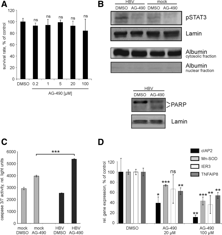 Inhibition of signal transducer and activator of transcription 3 (STAT3) by AG-490 and its consequences on apoptosis signaling in hepatocytes. ( A ) Hepatitis B virus (HBV)–infected differentiated HepaRG cells were either treated with 0.1% dimethyl sulfoxide (DMSO) or with different amounts of AG-490 (0.2 μM, 1 μM, 5 μM, 20 μM, and 100 μM); 24 hours after administration of AG-490, cell viability was analyzed by CellTiter-Blue Cell Viability Assay. Values are given as median ± SD (n = 3; statistical significance relative to DMSO-control; Student's t test). ( B ) Mock- or HBV-infected primary human hepatocytes (PHHs) were either incubated with 0.1% DMSO or with 100 μM of AG-490 for 24 hours. Nuclear or cytosolic proteins were prepared using the NE-PER Nuclear and Cytoplasmic extraction Reagents. Inhibition of STAT3 phosphorylation (upper panel) was analyzed by Western blotting using nuclear proteins and anti-pSTAT3 antibodies. Purity of nuclear protein preparations was controlled by Western blotting using antialbumin antibodies. Cleavage of poly(ADP-ribose) polymerase (PARP) (lower panel) was analyzed by Western blotting using nuclear proteins and anti–poly(ADP-ribose) polymerase (PARP) antibodies. Positions of 116 kDa uncleaved (upper band) and 85 kDa cleaved PARP (lower band) are indicated. Membranes were reprobed with anti-lamin antibodies to control equal protein loading. ( C ) Caspase 3/7 activity in mock- or HBV-infected PHHs treated with either DMSO or with 100 μM AG-490 was measured by luminescent caspase 3/7 assay. Mean ± SD is given (n = 3; *** P