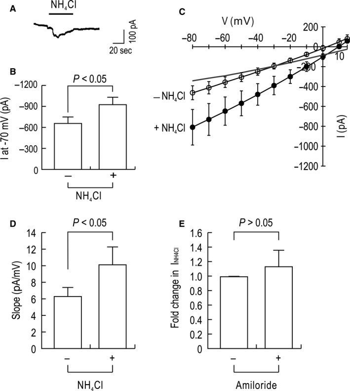 NH 4 + currents in ST ‐1 cells measured by whole cell patch clamp. (A) An example of a whole cell current evoked by 20 mmol/L NH 4 Cl in an ST ‐1 cell. The recording was performed in the presence of 2 mmol/L BaCl 2 , 10 mmol/L TEA , 5 mmol/L BAPTA . The holding potential was −70 mV . NH 4 Cl replaced LiCl at the equimolar concentration. (B) Mean peak current. The difference in currents before and after NH 4 Cl application represents an NH 4 Cl‐mediated current ( n = 9). (C) I – V relationships. Peak or steady‐state currents at different voltages were acquired by the voltage command stepping from −80 to +15 mV ( n = 5). The difference between the two I – V curves is shown in a gray line. (D) Mean slope determined from the I – V curves. (E) Effect of 1 μ mol/L amiloride on NH 4 Cl‐induced currents ( I NH 4Cl ). Data are presented as fold change relative to I NH 4Cl produced without amiloride ( n = 6 for each).