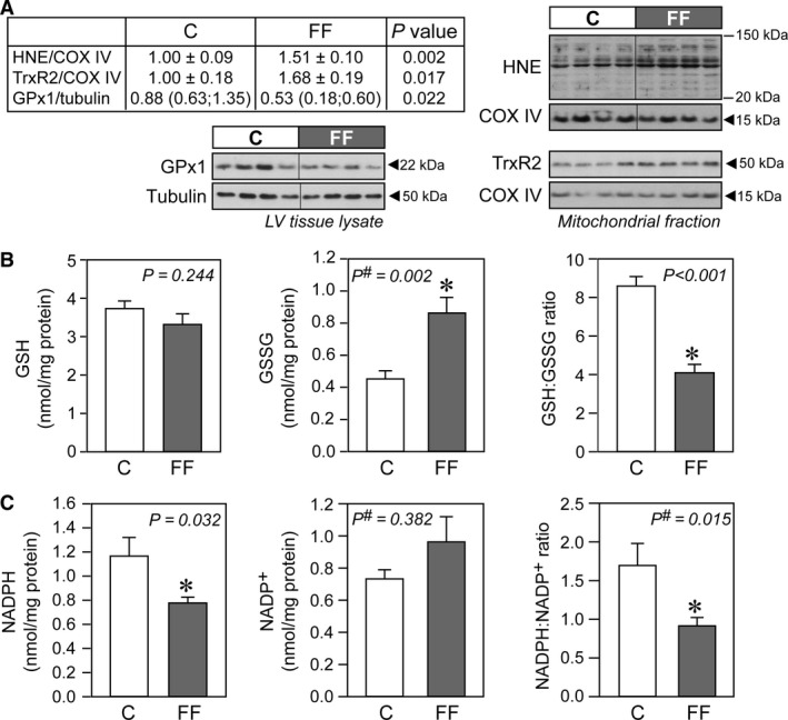 Increased oxidative stress in hearts of fructose‐fed rats. (A) Representative immunoblots and densitometric quantification of mitochondrial 4‐hydroxynonenal ( HNE ), mitochondrial thioredoxin reductase (TrxR2), and cellular glutathione peroxidase 1 ( GP x1) ( n = 6–7/group). (B) Concentrations of reduced glutathione ( GSH ) and oxidized glutathione ( GSSG ) in cardiac homogenates of control and fructose‐fed rats, with their respective GSH : GSSG ratio ( n = 10/group). (C) Concentrations of NADPH and NADP + in cardiac mitochondria of control and fructose‐fed rats, with their respective NADPH / NADP + ratio ( n = 8/group). Data are presented as mean ± SE. # Mann–Whitney nonparametric statistical test was applied. C, control rats; FF , fructose‐fed rats.