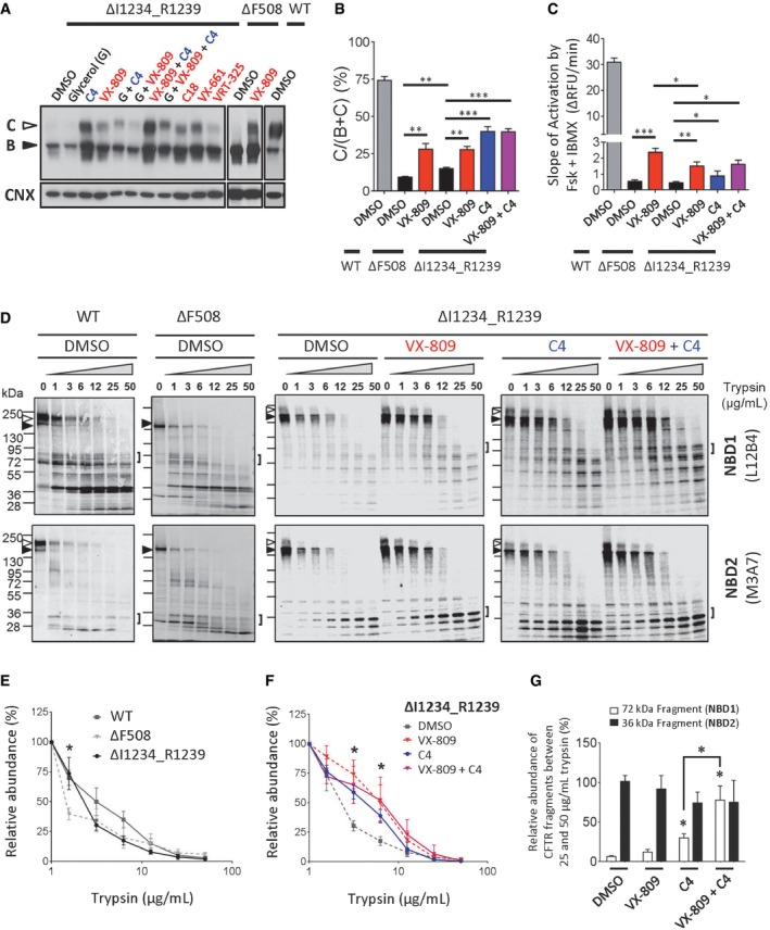 Small molecule correctors of ΔF508‐CFTR partially rescue processing and conformational defect of ΔI1234_R1239‐CFTR in the HEK‐293 expression system Immunoblots of steady‐state expression of ΔI1234_R1239‐CFTR following treatments with ΔF508‐CFTR modulators. Class 1 and Class 2 correctors are labeled in red and blue, respectively. ΔF508‐CFTR and WT‐CFTR are included as controls. Quantitation of maturation by most efficacious modulators; VX‐809 was used as a representative Class 1 corrector. Maturation was benchmarked to ΔF508‐CFTR and WT‐CFTR (mean ± SEM, n = 3 biological replicates, and statistical significance tested using two‐way ANOVA with Tukey's multiple comparisons test). For ΔF508‐CFTR: DMSO versus VX‐809, ** P = 0.0046. For ΔI1234_R1239‐CFTR: DMSO versus VX‐809, ** P = 0.0032; DMSO versus C4, *** P = 0.0009; DMSO versus VX‐809 + C4, *** P = 0.0005. For ΔF508‐CFTR (DMSO) versus ΔI1234_R1239‐CFTR (DMSO), ** P = 0.0022. Quantitation of rate of activation (chloride efflux assay) of ΔI1234_R1239‐CFTR following chronic treatment with ΔF508‐CFTR correctors and acute activation (forskolin/IBMX). Activation rate was benchmarked to ΔF508‐CFTR and WT‐CFTR (mean ± SEM, n = 4 biological replicates, and statistical significance tested using two‐way ANOVA with Tukey's multiple comparisons test). For ΔF508‐CFTR: DMSO versus VX‐809, *** P = 0.0003. For ΔI1234_R1239‐CFTR: DMSO versus VX‐809, ** P = 0.0018; DMSO versus C4, * P = 0.0408; DMSO versus VX‐809 + C4, * P = 0.0199. For ΔF508‐CFTR (VX‐809) versus ΔI1234_R1239‐CFTR (VX‐809), * P = 0.0222. Immunoblots of proteolytic digestion of full‐length WT‐CFTR, ΔF508‐CFTR and ΔI1234_R1239‐CFTR. Band B, black arrowhead; band C, white arrowhead. Square brackets denote NBD1 and NBD2 fragments of interest, and those generated from ΔI1234_R1239‐CFTR were quantitatively analyzed in panel (G). Quantitation of proteolytic susceptibility of full‐length WT‐CFTR, ΔF508‐CFTR and ΔI1234_R1239‐CFTR (mean ± SEM, n = 3 biological replicates, and st