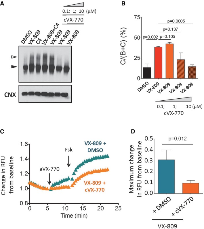 Potential deleterious effect of VX‐770 at high concentrations observed for ΔI1234_R1239‐CFTR in a heterologous expression system Immunoblot (A) and quantitation (B) of ΔI1234_R1239‐CFTR expression following pharmacological correction (VX‐809) in the absence (DMSO) and presence of chronic (24 h) VX‐770 treatment (0.1, 1, and 10 μM; mean ± SEM, n = 3 biological replicates). Band B, black arrowhead; band C, white arrowhead. Statistical significance tested using two‐way ANOVA with Tukey's multiple comparisons test. Representative traces (membrane depolarization assay) (C) and quantitation (D) of ΔI1234_R1239‐CFTR function following pharmacological correction (VX‐809) in the absence (DMSO) and presence of chronic (24 h) VX‐770 treatment (10 μM) and acute activation (VX‐770/forskolin; mean ± SEM, n = 8 biological replicates). Statistical significance tested using two‐way ANOVA with Tukey's multiple comparisons test.