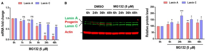 MG 132 treatment resulted in a decrease in the mRNA levels but not the protein levels of lamin A and C MG132 reduces lamin A and lamin C transcript levels. Quantitative real‐time PCR analyses of lamin A and lamin C mRNA levels in HGPS fibroblasts treated with 5 μM MG132. Both lamin A and lamin C protein levels are increased upon HGPS fibroblasts treatment with 5 μM MG132. Data information: All experiments were performed in triplicate. Results are expressed as mean ± SEM. * P