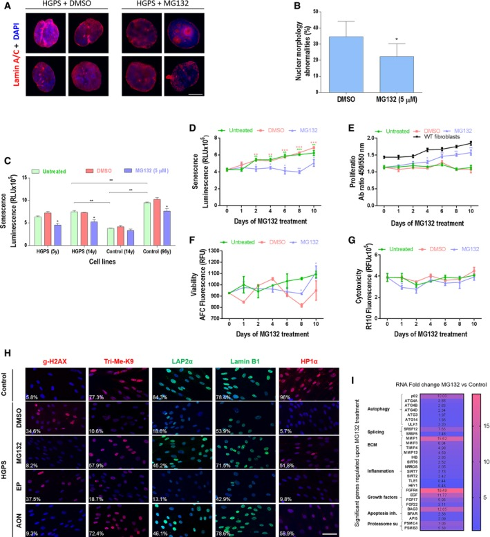 MG 132 improves cellular HGPS phenotypes Immunofluorescence images of HGPS fibroblasts cultured with DMEM medium containing 5 μM MG132, or the same volume of vehicle (DMSO, 0.025% v/v) for 48 h and stained for lamin A/C (red) and DAPI (blue). Scale bar, 5 μm. ( n = 3). The percentage of normal nuclei (nuclei with a smooth oval shape) and abnormal nuclei (nuclei with blebs, irregular shape, or multiple folds) was calculated using the Nuclear Irregularity Index (NII) plugin of the ImageJ software (version 1.6.0, NIH, USA). At least 200 fibroblast nuclei were randomly selected for each cell line. A representative image and the mean values of three different experiments are shown. Senescence rate in 2 HGPS fibroblasts and two control fibroblasts treated with 5 μM MG132 for 48 h relative to DMSO‐treated cells. Each experiment was performed on cells at the same passage level. Senescence is determined as relative light units (RLU). ( n = 4). HGPS fibroblasts were untreated, vehicle control (DMSO) or 5 μM MG132 treated up to 10 days. The medium was replaced with new drug every 48 h. ( n = 3). Senescence rate in HGPS fibroblasts (untreated or DMSO‐treated cells at each time point vs. Day 0. MG132‐treated cells vs. DMSO‐treated cells at each time point) (D). Cell proliferation rate based on the incorporation of bromodeoxyuridine (BrdU) into the DNA was expressed as absorbance OD450‐550. (MG132‐treated cells vs. DMSO‐treated cells at each time point). Proliferation rates in normal fibroblasts (WT fibroblasts) are presented (E). Viability (MG132‐treated cells vs. DMSO‐treated cells at each time point) (F) and cytotoxicity (MG132‐treated cells vs. DMSO‐treated cells at each time point) (G). Immunofluorescence microscopy on primary dermal fibroblasts from a healthy individual (control) and an individual with HGPS treated with DMSO (MG132 vehicle control), 5 μM MG132, 20 μM control scrambled morpholino antisense oligonucleotides (Scr‐AON), or 20 μM specific AON for 10 days. The me