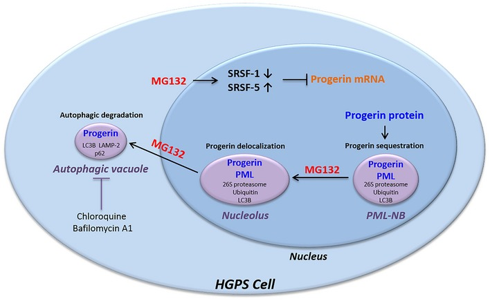 Summary diagram showing MG 132 effects on progerin localizations and putative involvement of caspases, splicing, and autophagy systems in progerin clearance In fibroblasts from HGPS patients, progerin accumulates in thread‐like PML‐NBs. MG132 treatment resulted in a caspase‐mediated reduction of SRSF‐1 levels as well as SRSF‐5 accumulation, leading to a decrease in progerin transcript levels. In parallel, MG132 at first induces nucleolar translocation of progerin and then its accumulation and degradation in autophagic vacuoles.