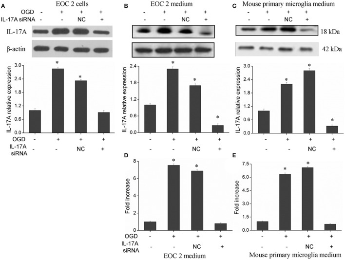 Expression of IL-17A in microglial cells. After transfection with IL-17A siRNA for 24 h, microglial cells were placed in an oxygen deprived incubator at 37°C for 2 h, and then moved to normal conditions to terminate the OGD and start reperfusion for 24 h. IL-17A expression as measured by Western blot analysis in EOC 2 cells (A) , EOC 2 culture supernatants (B) , and mouse primary microglia culture supernatants (C) . Protein concentrations of IL-17A in EOC 2 (D) and mouse primary microglia (E) culture supernatants were determined by ELISA. Experiments were carried out at least in triplicate and the results were expressed as the mean values, * P