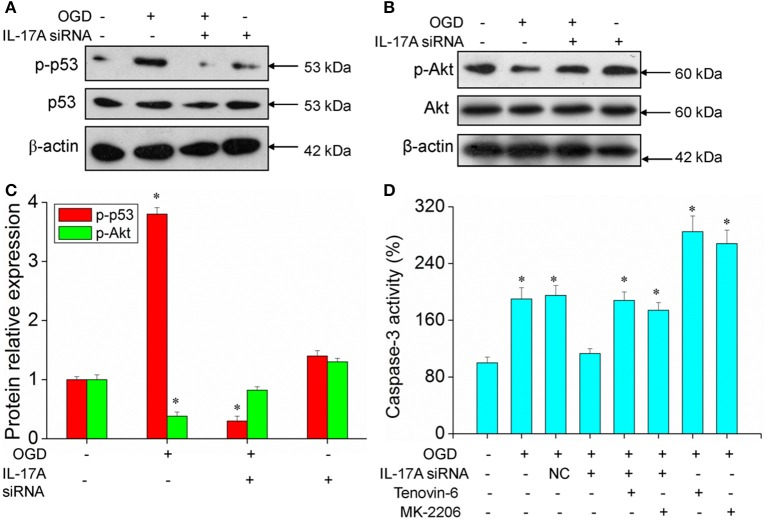 Expression of p-p53 and p-Akt, caspase 3 activity in microglial cells. After transfection with IL-17A siRNA for 24 h, EOC 2 cells were started in the OGD condition for 2 h and reperfusion for 24 h. P-p53 (A) and p-Akt (B) expression as measured by Western blot analysis. (C) Data are presented as the means ± SD from three independent experiments, * P