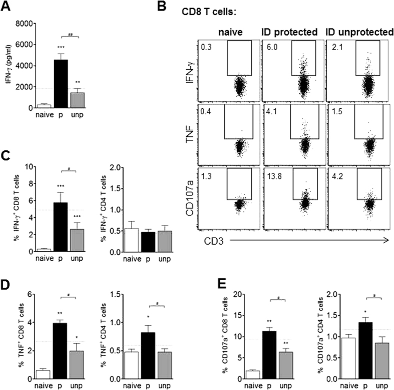 Unprotected mice after ID immunization show reduced liver T cell effector responses compared to protected mice. ID immunized mice were challenged followed by artesunate treatment, and distinguished as protected (p, i.e. luciferase negative) or unprotected (unp, i.e. luciferase positive). Hepatic CD8 and CD4 T cells were analyzed at day 7 after challenge. (A) IFN-γ concentration in supernatant of total leukocytes after culture for 36 h with CSP and sporozoites as measured by ELISA. (B) Representative FACS plots of CD8 + gated T cells for intracellular expression of IFN-γ or TNF after culture for 4 h with CSP and brefeldin A, and for surface expression of CD107a after 4 h culture with CSP, brefeldin A and monensin. Numbers indicate the frequency of the gated cell population. Graphs show a summary of 2 experiments with 8–14 mice per group for frequency of IFN-γ ( C ), TNF ( D ), or CD107a ( E ) -expressing CD8 T cells and CD4 T cells. The dotted line indicates the mean cytokine or expression level for protected IV immunized mice (N = 9–16). Significant difference by Mann-Whitney test is indicated by *p
