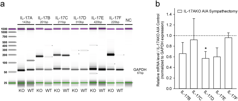 <t>PCR</t> and RT-PCR of IL-17 cytokine family members in knee joint tissues at day 2 of AIA. ( a ) Representative PCR-ScreenTape (Agilent 2200 TapeStation) of IL-17 cytokine family members in tissues of WT and IL-17AKO mice. PCR analysis does not give information about expression quantity. Upper (magenta) and lower (green) markers are used as internal references to determine the molecular weight size of the sample. <t>DNA</t> ladder (25–1500 bp) on the left. GAPDH (Glyceraldehyde 3-phosphate dehydrogenase) serves as a housekeeping control gene. ( b ) Quantitative reverse transcriptase (RT)-PCR in tissues of sympathectomised IL-17AKO mice and IL-17AKO AIA control mice (n = 5 per group). mRNA level after sympathectomy are given in relation to non-sympathectomised control mice. Sympathectomy significantly (p = 0.012) decreases IL-17D-mRNA. Values are mean ± SEM. *p