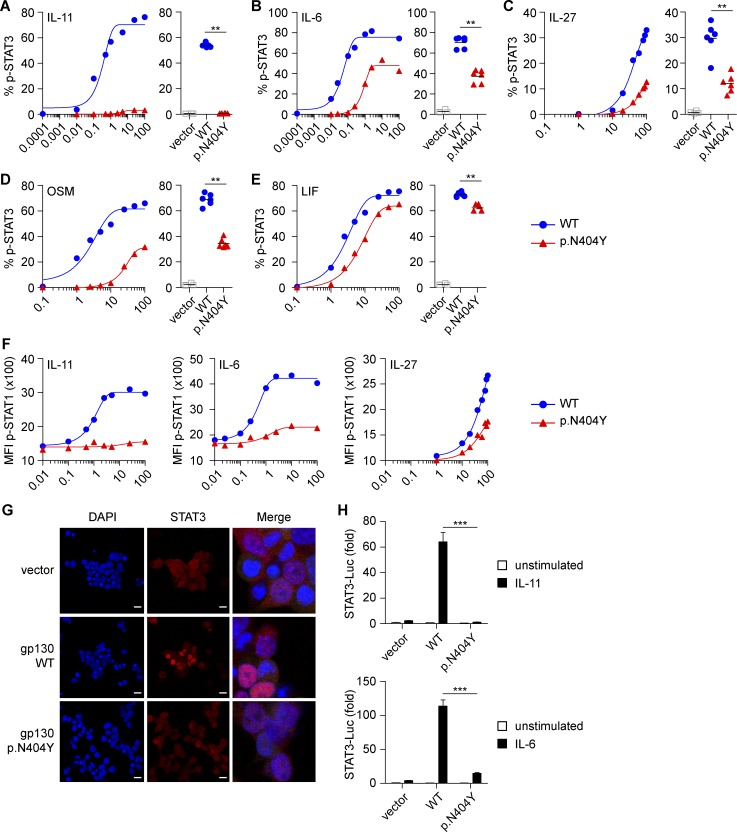 The GP130 p.N404Y substitution causes defective signaling by IL-11, IL-6, IL-27, OSM, and LIF. (A–E) HEK293 GP130-KO cells were transfected with empty vector control or plasmids encoding GP130 WT or the patient variant p.N404Y. Cells were stimulated with the indicated concentrations (ng/ml) of IL-11 (A), IL-6 (B), IL-27 (C), OSM (D), or LIF (E) for 15 min and analyzed for STAT3 phosphorylation (p-STAT3) by Phosflow. For assessment of IL-11 and IL-6 signaling, cells were cotransfected with plasmids encoding IL-11RA and IL-6RA, respectively. Co-transfection with GFP allowed gating on successfully transfected cells. Representative titration curves (on the left in each panel) are shown for each ligand and are representative of two independent experiments. Curve fitting is by nonlinear regression. Quantification (on the right in each panel) is based on four to six independent experiments per cytokine at one concentration (IL-11, 1 ng/ml; IL-6, IL-27, OSM, and LIF, all 100 ng/ml). (F) Experiments with HEK293 GP130-KO cells performed as in A–C. Cells were assayed for phospho-STAT1 (p-STAT1). Titration curves are representative of two independent experiments. MFI, mean fluorescence intensity. (G) Immunofluorescence staining of HEK293 GP130-KO cells, plated in chamber slides and transfected as in A. Cells were analyzed for STAT3 nuclear translocation using confocal microscopy. Bars, 50 µm. Images on the right are merged and magnified. Images are representative for three independent experiments. (H) HEK293 cells were cotransfected with luciferase (Luc) reporters, GP130 variants, and IL-11RA or IL-6RA expression vectors, respectively. After 24 h, cells were stimulated with 1 ng/ml IL-11 (top) or 0.5 ng/ml IL-6 (bottom) for 6 h, and induction of STAT3 reporter (relative to constitutively expressed Renilla luciferase) was determined. Results are expressed as fold-induction compared with unstimulated vector control and are pooled data from three independent experiments with three to six technical replicates each. Data represent mean with SEM. Differences were investigated by Mann-Whitney U test. **, P